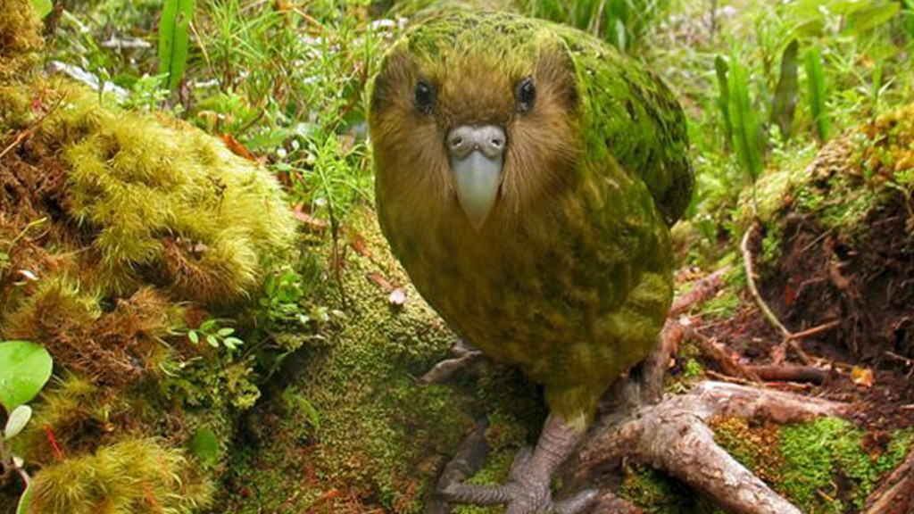 Huggies-Kakapo-Photo